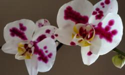 Une photo en gros plan de deux orchidées