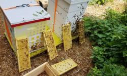 Four stacks of honey bee colonies.