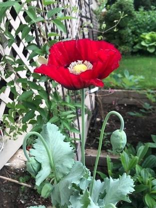 Un coquelicot qui a fleuri dans le jardin d'un employé du SCC.